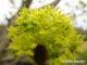 Ahorn Blüten Görlitz