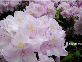 Azaleen Rhododendren Görlitz