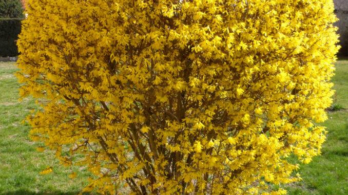 Forsythie Blüte März 2019