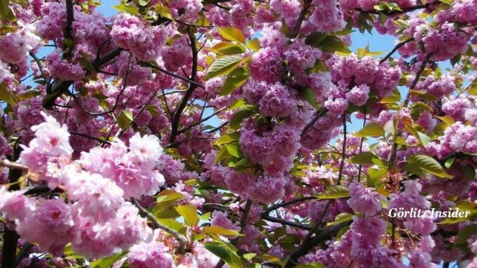 Japanische Kirschblüte Weinhübel Görlitz
