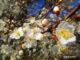 Mirabellen Blüte Görlitz
