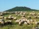 Schafe an der Landeskrone