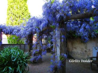 Erlebnis Görlitz - Selfis im Blauregen machen