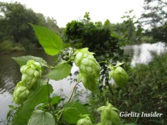 Hopfen in Görlitz