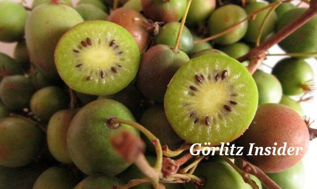 Görlitz Minikiwis